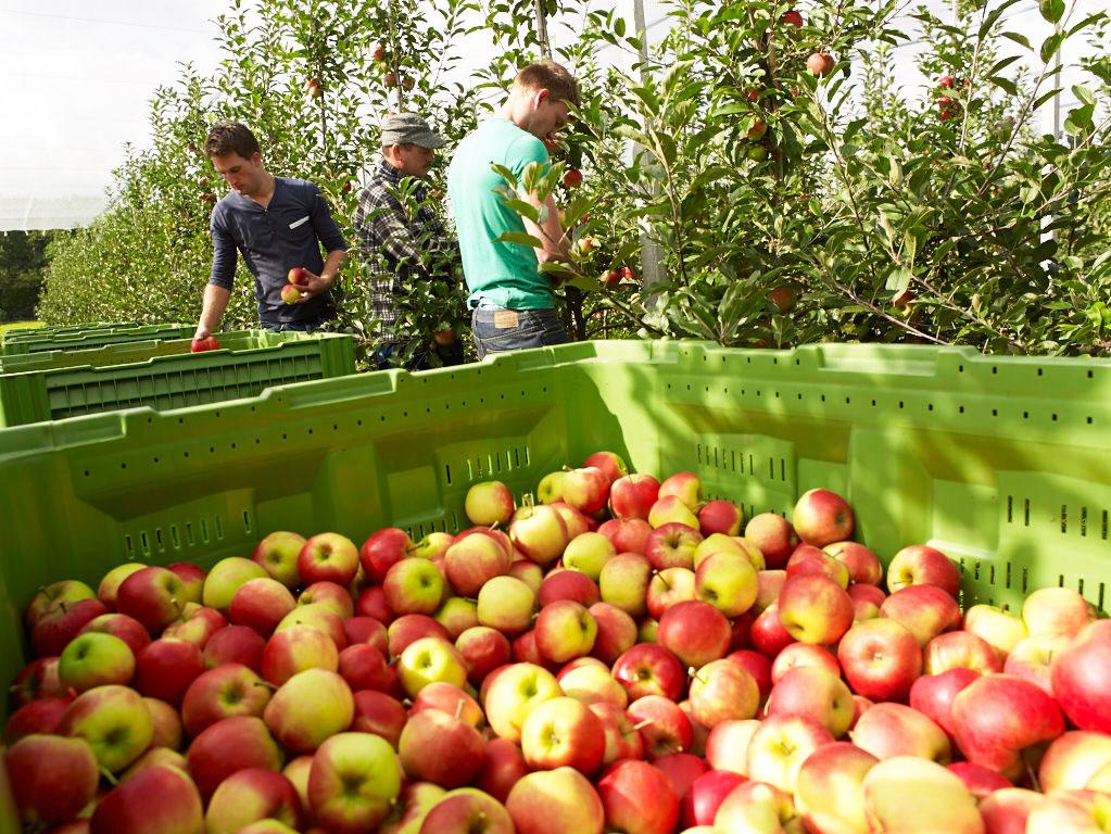 Apfelernte Petkens in Kerken am Niederrhein
