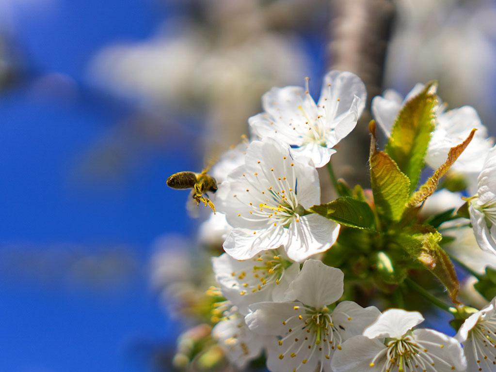 Kirschblüte Biene