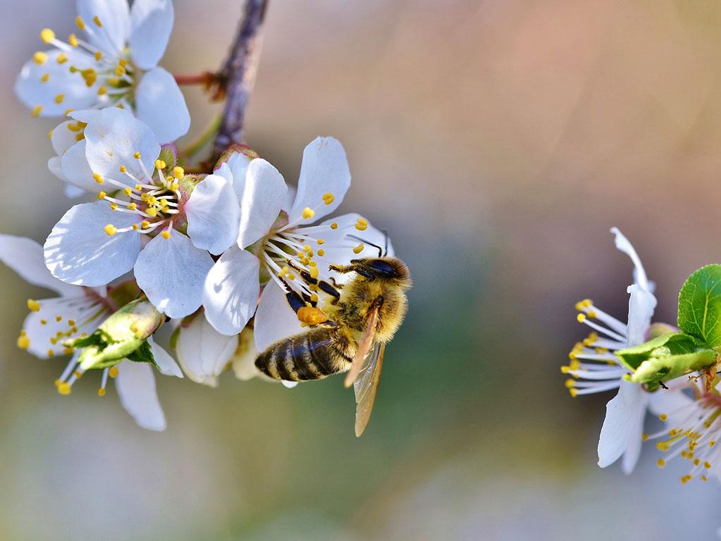 Steinobst Biene